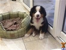 bernese mountain dog puppy posted by pjwobcxc