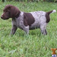 german shorthaired pointer puppy posted by pohef14789