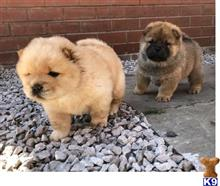 chow chow puppy posted by polesep133