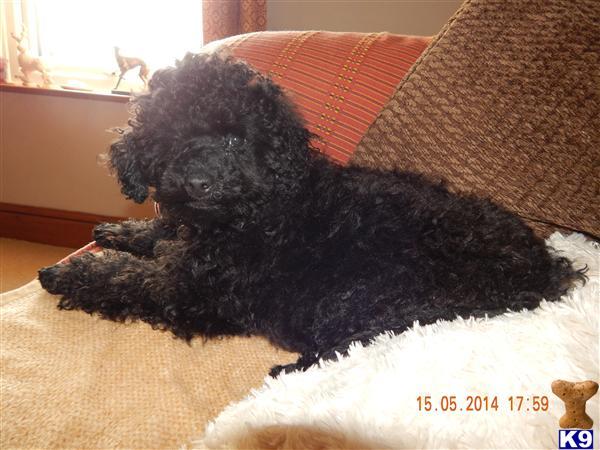 poodle1 Picture 1