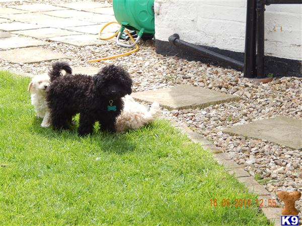 poodle1 Picture 2