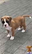 boxer puppy posted by puffybrown