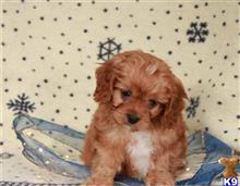 cavalier king charles spaniel puppy posted by Puppyloveuk
