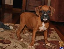boxer puppy posted by q7uqm8d