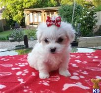 maltese puppy posted by quiktella
