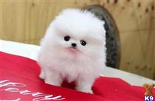 pomeranian puppy posted by quintacarl