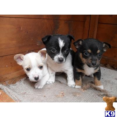 chihuahua cross jack russell puppys - Chihuahua Puppy for Sale in the ...