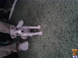 whippet puppy posted by rachelmallinson
