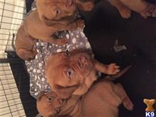 dogue de bordeaux puppy posted by raineydayz