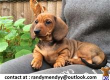 dachshund puppy posted by randymendyy