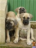 south african boerboel puppy posted by Ravenswood Boerboels