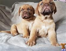dogue de bordeaux puppy posted by redtonrtmorgan