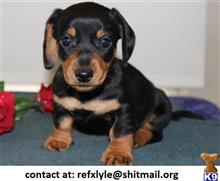 dachshund puppy posted by refxlyle