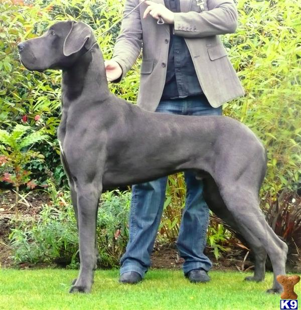 Blue Great Dane Puppies - Great Dane Puppy for Sale in the UK