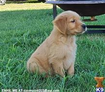 golden retriever puppy posted by rewmalax