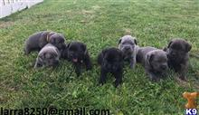 cane corso puppy posted by rewowig377