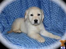 golden retriever puppy posted by richardcurtis