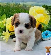 cavalier king charles spaniel puppy posted by robin TEXT OR CALL 07418348583