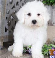 bichon frise puppy posted by robinpatt11