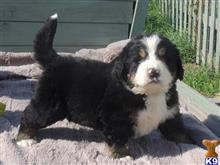 bernese mountain dog puppy posted by rockyroterdam