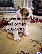 english bulldog puppy posted by romexol404