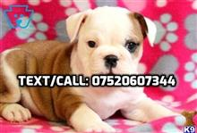 english bulldog puppy posted by ronnieleesxcc