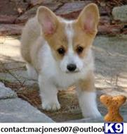 pembroke welsh corgi puppy posted by rosleam2