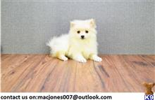 pomeranian puppy posted by rosleam4