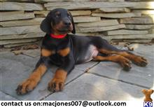 doberman pinscher puppy posted by rosleam5