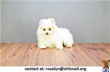 pomeranian puppy posted by rosolyn
