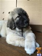 caucasian ovcharka puppy posted by rozatalgo