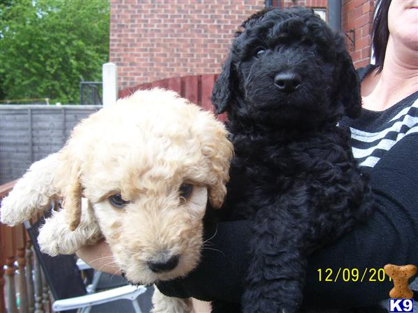 labradoodles puppies for sale. Labradoodle Puppies for Sale