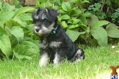 Miniature Schnauzer Puppies on Bedford  United Kingdom Miniature Schnauzer Puppies