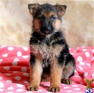german shepherd puppy posted by rv6q49c
