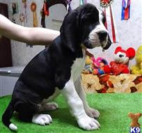 great dane puppy posted by sahage