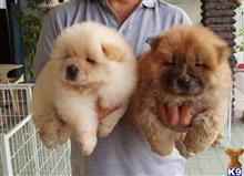 chow chow puppy posted by sahiwek59123