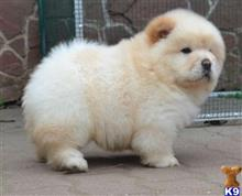 chow chow puppy posted by sahiwek59137