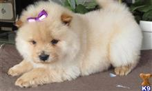 chow chow puppy posted by sahiwek59151