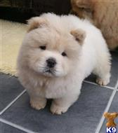 chow chow puppy posted by sahiwek9167
