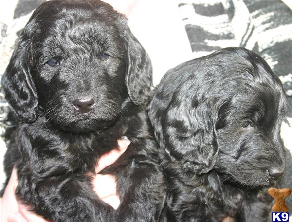 goldendoodle puppies michigan. Goldendoodles Puppies for