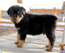 rottweiler puppy posted by sandrakims