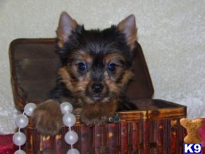 yorkie ton yorkie ton puppies very rare in the uk available 29256 2359
