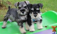 miniature schnauzer puppy posted by sandrinechristopher2