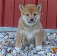 shiba inu puppy posted by sandrinesmithswet