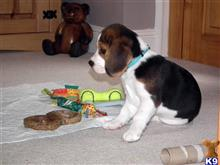 beagle puppy posted by sarahmcwilliams72