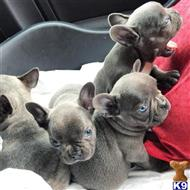 french bulldog puppy posted by Sarahtorres