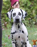 dalmatian puppy posted by Savvina