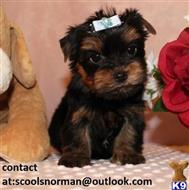 yorkshire terrier puppy posted by scoolsnorman