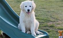 golden retriever puppy posted by Seagerard5