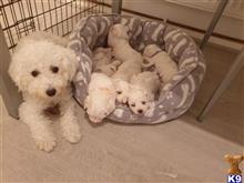 bichon frise puppy posted by shalepups